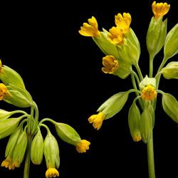 Nurmenukutee 20g (Primula...